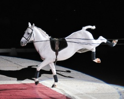 A Royal Lipizzaner Stallion from Austria sashays across an arena somewhere.