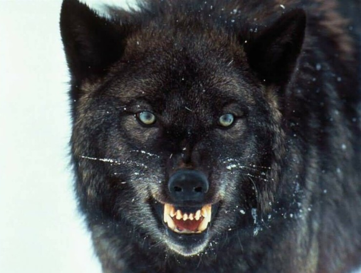 Oona, Matias, Leonia and Poona were surrounded by hungry black wolves.