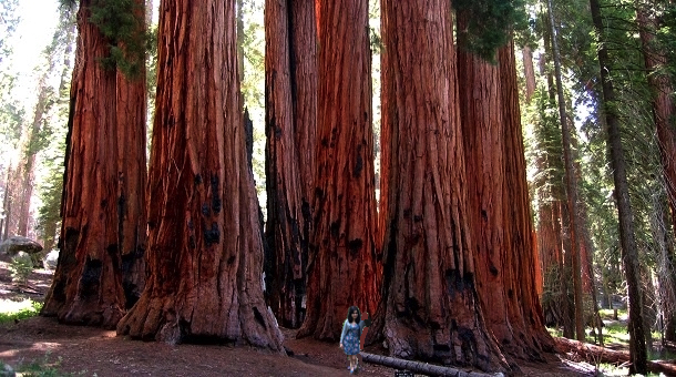Ms. Sassy would love to play the role of wood elf in Great Sequoia National Park.
